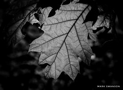 Oak Leaf Details (mswan777) Tags: forest leaf hike trail outdoor nature oak wood light detail texture pattern macro ansel monochrome black white nikon d5100 sigma 70300mm michigan shadow