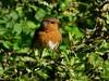 Robin (LouisaHocking) Tags: robin british bird kent hill park milton keynes wild wildlife nature