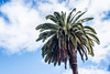220/365 : Palm Tree (KitaDependence) Tags: palm palmtree sky clouds cloudy green brown blue white nikon nikod610 d610 365 365project 50mm project photography
