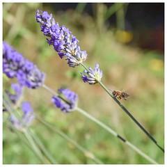 The bee and lavender (Babethaude) Tags: nature bee lavander bokeh closeup flower bug