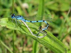Sunday morning walk Dragonflies #dragonfly #LoveMK #furztonlake #SundayMorningWalk (Bucks photographer) Tags: dragonfly lovemk sundaymorningwalk furztonlake dragonflies miltonkeynes nature damselfly fly damsel
