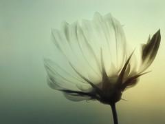She Only Looks Fragile (elsa.brenner) Tags: fragility transparent delicate flower metaphor