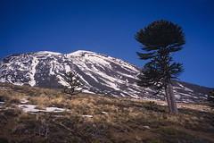 Volcán Lonquimay (Mono Andes) Tags: andes chile regióndelaaraucanía volcán volcano volcanoe volcánlonquimay araucaria