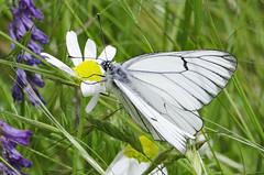 Aporia crataegi 2016-1 (lindnys) Tags: picosdeeuropa crataegi sortårethvidvinge sommerfugl butterfly cordiñanesdevaldeón castillayleón spain es