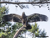 Feathers Day 2018 Bald Eaglet see full size (Mike Black photography) Tags: bald eagle eaglet nest nesting pair bird birding watching big year new jersey nj shore shark river raptor talons branch hopping baby canon 5ds 800mm is usm l lens mike black photography june 2018
