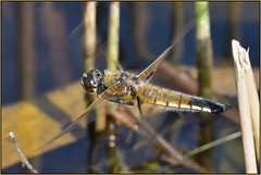 Four-spotted Chaser In Flight (image 1 of 2) (Full Moon Images) Tags: woodwalton fen greatfen bcn wildlife trust nnr national nature reserve cambridgeshire insect macro flight flying fourspotted four spotted chaser dragonfly