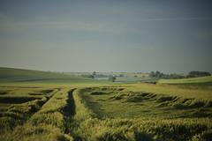 Wind of storm (François NOËL) Tags: fields countryside crops wheat wind colors landscape beautiful depth milvus1485 zeiss