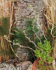 X Cremnosedum ´Penn Ar Ru´ 3780-2; Crassulaceae (2)