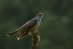 Cuckoo corona (Wizmatt) Tags: cuckoo common cuculus canorus wild bird wildlife nature photography lighting backlighting back light perched canon 100400mm