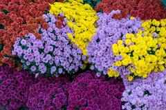 untitled (andyscho2004) Tags: montmartre paris france europe flowers colour purple pink yellow mauve nikon d7100 vibrant bright