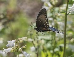 Mid air transfer (Deb Felmey) Tags: delaware delawarebotanicgardens gardens flowers southerndelaware flower nature meadow