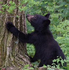 Black Bear Climb in Shenandoah National Park Virginia (tPFmariah9999) Tags: loveva vaoutdoors outdoors virginia jenjohnsonphotography blackbear wildlife bear nationalparks nps shenandoahnationalpark snp shenandoah