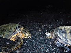 Sea turtles at night (thomasgorman1) Tags: turtles seaturtles sealife beach sand fujifilm night dark flash animal blacksand hawaii island pair