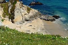 Mirounga angustirostris (Northern Elephant Seal) (birdgal5) Tags: california marincounty pointreyesns pointreyesnationalseashore fishdocks chimneyrocktrail mammalia phocidae northernelephantseal mirounga miroungaangustirostris nikon d4 nikond4 105mmf28gvrmicro inaturalistorg