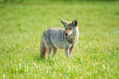 Coyote #105 (lennycarl08) Tags: alhambravalley coyote animalplanet animals eastbay northerncalifornia