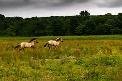 Freedom (jvanrosberg) Tags: freedom horses running nature forrest grass greysky wild nikon d5300
