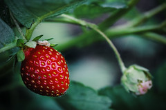 *** (alex_bruskov) Tags: strawberry dof canon 550d efs55250