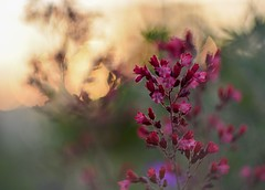 Heuchera. (agnieszka.a.morawska) Tags: blur dof macro flower helios helios44m bkhq garden heuchera beyondbokeh bokehlicious bokeh