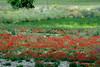 el día de san Antonio de Padua buscando imágenes en Valdemoro (M. Martin Vicente) Tags: camposdevaldemoro amapolas juniode2018