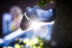 You are the light that lifts me when I'm down (Paul Wrights Reserved) Tags: pigeon light flare bird birding birdphotography birds birdinflight wing lightburst action actionphotography wow