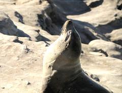 Sea lion trying to catch some sun (JonSalim) Tags: sea lions san diego beach sealions sandiego sandiegosealions lajollacove seelöven