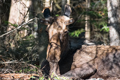Chilling Moose (era.ph) Tags: chill sunset canoe lake algonquin park parks ontario wild life wildlife enjoy mosquitoes young moose muskoka canada canadian nikond5300 nikon 70300 instagram search love natural