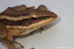 Hylarana erythraea (GeeC) Tags: amphibia animalia anura cambodia chordata frogstoads hylarana hylaranaerythraea kohkongprovince nature ranidae ranoidea tatai truefrogs