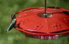 Male Ruby Throated Hummingbird (80's All Week Then More Rain-Yay!) Tags: hummingbird male rubythroatedhummingbird green feeder red
