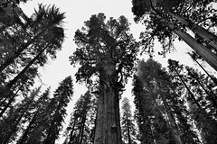 Distortion (Black & White, Sequoia National Park)