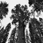 Distortion (Black & White, Sequoia National Park) thumbnail