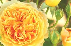 Blooming .... (acwills2014) Tags: rose rambling established mature full peach bloom blooming delicate orange
