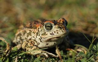 Natterjack Toad. (1 of 3)