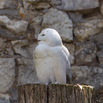Snowy owl in Moscow zoo thumbnail