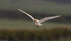 Barn Owl.. Full Concentration (Steve (Hooky) Waddingham) Tags: stevenwaddinghamphotography bird british barn countryside coast nature northumberland voles mice hunting wild wildlife prey photography