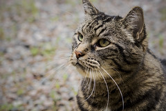 I Tought I Saw A Putty Cat (SNAPShots by Patrick J. Whitfield) Tags: cat feline animals pets lines patterns texture details light shadows colour life outside nature eyes yellow macro wet