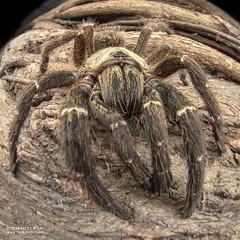 Baboon tarantula (cf. Pterinochilus murinus) - DSC_3095 (nickybay) Tags: bugshot mozambique gorongosa macro africa baboon tarantula spider theraphosidae pterinochilus murinus cctv wideangle