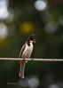 DSC_1340 (Sunil - Bhoj) Tags: mysuru karnataka india nikond7200 sigma150600c bird bulbul
