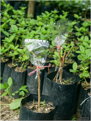 grafting (b. inxee♪♫) Tags: agriculture grafting