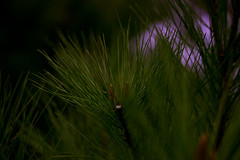 Pine Needles (pinto855) Tags: pine needles tree green black brown purple red nature plant canon canon80d 80d macro macrophotography blur blurry shadow hue saturation color balance