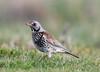 Fieldfare Turdus pilaris 005-1 (cwoodend..........Thanks) Tags: warwickshire fieldfare turduspilaris turdidae thrush wildlife