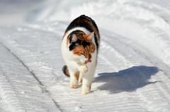is i labben (KvikneFoto) Tags: åsta katt cat vinter winter snø snow bokeh tamron nikon