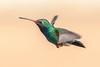 Broad-billed Hummingbird (gilamonster8) Tags: broadbilled hummingbird bird animal fly flight wing ngc flickrelite explore explored ef400mm56l eos canon color common colorfull blue green red arizona sky bokeh beyondbokeh beak 5dmarkiv view