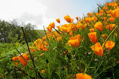 Opium Flowers (luo_wyne) Tags: