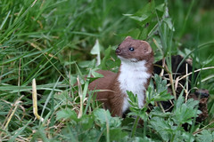 Weasel (Karen Roe) Tags: britishwildlifecentre surrey county england britain uk unitedkingdom greatbritain gb canoneos760d canon 760d wildlife april 2018 peaceful quiet tranquil outside spring weather season camera photography photograph photographer picture image snap shot photo karenroe female flickr visit visitor nature weasel capture wild mammal