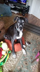 14.52.2018 I fits so I sits. (kmmorgan1977) Tags: 52weeksfordogs 52weeks 52wfd18 52wfd kkzsapachevegasrose bigdoglittlebed greatdane akcgreatdane dog 2018