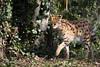 Serval (Cloudtail the Snow Leopard) Tags: serval tier animal mammal säugetier katze cat feline tierboskat beutegreifer predator zoo amneville