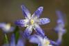 Blue Star (Xtraphoto) Tags: spring frühling springtime frühlingsblumen nature natur nahaufnahme makro macro stern star tautropfen tropfen drops flower blume blau blue schneestolz