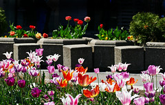 Tulips in Belgrade (Colorado Sands) Tags: belgrade serbia europe sandraleidholdt tulips flowers floral fleur flores fiori fleurs bloemen blommor blossoming srbija