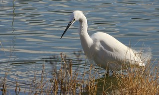 Little Egret _Conwy RSPB reserve Wales - 210317(3)