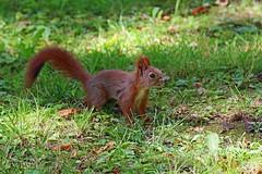 Łazienki Park (13emilio) Tags: poland polonia traveling europe europa warsaw varsovia canoneos100d canonef24105mmf3556 canon ardilla squirrel